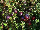 Cranberry / Moosbeere 'Pilgrim', 20-30 cm, Vaccinium macrocarpon 'Pilgrim', Containerware