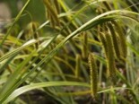 Lebensraum Wasser - Cyperngras-Segge, Carex pseudocyperus, Topfballen