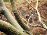 Laubbäume - Davids-Ahorn / Schlangenhaut-Ahorn, 60-100 cm, Acer davidii, Containerware