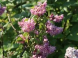 Deutzie / Sternchenstrauch 'Tourbillon Rouge', 60-100 cm, Deutzia magnifica 'Tourbillon Rouge', Containerware