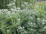 Freiflächen - Durchwachsener Wasserdost, Eupatorium perfoliatum, Topfballen