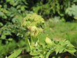 Kräuter- und Teepflanzen - Echte Engelwurz, Angelica archangelica, Containerware