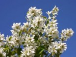 Blütensträucher und Ziergehölze - Echte Felsenbirne / Gemeine Felsenbirne, 100-150 cm, Amelanchier rotundifolia / ovalis, Containerware