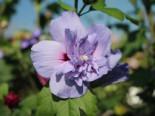Blütensträucher und Ziergehölze - Echter Roseneibisch 'Blue Chiffon' ®, 40-60 cm, Hibiscus 'Blue Chiffon' ®, Containerware