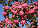 Blütensträucher und Ziergehölze - Echter Rotdorn 'Paul's Scarlet', 100-150 cm, Crataegus laevigata 'Paul's Scarlet', Containerware