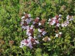 Echter Thymian, Quendel, 0-0 cm, Thymus vulgaris, Containerware