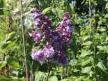 Blütensträucher und Ziergehölze - Edelflieder 'Katharine Havemeyer', 40-60 cm, Syringa vulgaris 'Katharine Havemeyer', Containerware