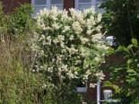 Blütensträucher und Ziergehölze - Edelflieder 'Primrose', 40-60 cm, Syringa vulgaris 'Primrose', Containerware