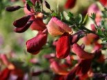 Edelginster 'Red Wings', 40-60 cm, Cytisus scoparius 'Red Wings', Containerware