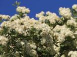 Wildbäume u. Wildsträucher - Eingriffeliger Weißdorn, 100-125 cm, Crataegus monogyna, Containerware