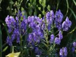 Eisenhut 'Blue Lagoon', Aconitum x cammarum 'Blue Lagoon', Topfware