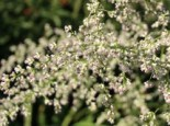 Freiflächen - Elfenraute 'Weiße Dame', Artemisia lactiflora 'Weiße Dame', Topfballen