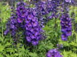 Englischer Rittersporn 'Secret', Delphinium x cultorum 'Secret', Topfware