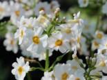 Etagen-Schlüsselblume 'Alba', Primula japonica 'Alba', Topfware