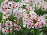 Etagen-Schlüsselblume 'Appleblossom', Primula japonica 'Appleblossom', Topfware
