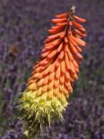 Fackellilie 'Grandiflora', Kniphofia uvaria 'Grandiflora', Topfballen