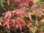 Laubbäume - Fächer-Ahorn 'Beni komachi', 30-40 cm, Acer palmatum 'Beni komachi', Containerware