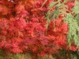 Laubbäume - Fächer-Ahorn 'Coonara Pygmy', 30-40 cm, Acer palmatum 'Coonara Pygmy', Containerware