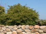 Laubbäume - Fächer-Ahorn 'Green Globe', 40-50 cm, Acer palmatum 'Green Globe', Containerware