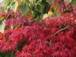 Laubbäume - Fächer-Ahorn 'Inaba shidare', 30-40 cm, Acer palmatum 'Inaba shidare', Containerware