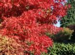 Laubbäume - Fächer-Ahorn 'Kamagata', 25-30 cm, Acer palmatum 'Kamagata', Containerware