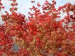 Laubbäume - Fächer-Ahorn 'Katsura', 30-40 cm, Acer palmatum 'Katsura', Containerware