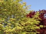 Laubbäume - Fächer-Ahorn 'Ki hachijo', 30-40 cm, Acer palmatum 'Ki hachijo', Containerware
