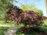 Laubbäume - Fächer-Ahorn 'Koriba', 30-40 cm, Acer palmatum 'Koriba', Containerware