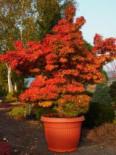 Laubbäume - Fächer-Ahorn 'Mikawa yatsubusa', 15-20 cm, Acer palmatum 'Mikawa yatsubusa', Containerware