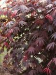 Laubbäume - Fächer-Ahorn 'Yasemin', 20-25 cm, Acer shirasawanum 'Yasemin', Containerware