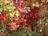 Laubbäume - Fächerahorn, 100-125 cm, Acer palmatum, Containerware