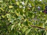 Zwerg-Fächerblattbaum