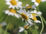 Stauden - Färber-Hundskamille 'Tetworth', Anthemis tinctoria 'Tetworth', Topfballen
