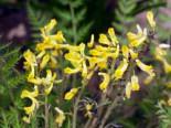 Gehölzrand - Farnblättriger Lerchensporn 'Manchu' ®, Corydalis cheilanthifolia 'Manchu' ®, Topfballen