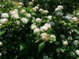 Blütensträucher und Ziergehölze - Fasanenspiere / Blasenspiere, 60-100 cm, Physocarpus opulifolius, Containerware