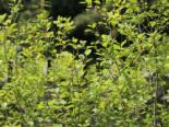 Wildbäume u. Wildsträucher - Faulbaum / Pulverholz, 60-100 cm, Rhamnus frangula  / Frangula alnus, Containerware