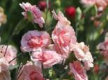 Steingarten - Feder-Nelke 'Doris', Dianthus plumarius 'Doris', Topfballen