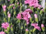 Steingarten - Feder-Nelke 'Maggie', Dianthus plumarius 'Maggie', Topfballen