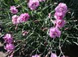 Steingarten - Feder-Nelke 'Roseus', Dianthus plumarius 'Roseus', Topfballen