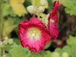 Feigenblättrige Stockrose, Alcea ficifolia, Topfware