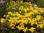 Steingarten - Felsen-Steinkraut 'Compactum Goldkugel', Alyssum saxatile 'Compactum Goldkugel', Topfballen