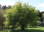 Laubbäume - Feuerahorn, 60-100 cm, Acer ginnala, Containerware
