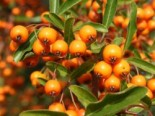 Feuerdorn 'Orange Glow', 15-25 cm, Pyracantha 'Orange Glow', Topfware