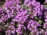 Filziger Thymian, Wolliger Thymian, Thymus praecox subsp. pseudolanuginosus, Containerware