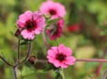 Stauden - Fingerkraut 'Miss Willmott', Potentilla nepalensis 'Miss Willmott', Topfballen