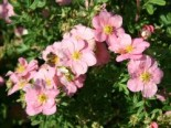 Potentilla 'Lovely Pink'  ®