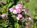 Flammenblume 'Aureole', Phlox paniculata 'Aureole', Topfware