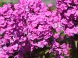 Flammenblume 'Magnificense', Phlox maculata 'Magnificense', Topfware