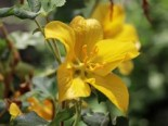 Fremontodendron 'Califonia Glory'