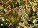 Unter Bäumen - Frohnleiten Elfenblume 'Frohnleiten', Epimedium x perralchicum 'Frohnleiten', Topfballen